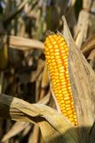 Dojrzały żółty organicznie kukurydzany ucho przygotowywający zbierać Zdjęcie Stock