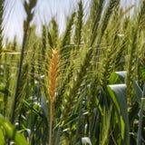 Dojrzały żółty pszeniczny ucho wśród zielonych ucho Zdjęcia Royalty Free