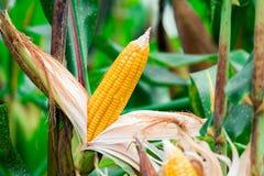 Dojrzały, żółty ucho słodka kukurudza na polu, Zbiera kukurydzanej uprawy Zdjęcia Stock