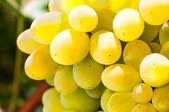 Dojrzały apetyczny winogrono Fotografia Stock