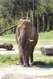 Dojrzały Azjatycki słoń - Pachyderm zdjęcia stock