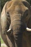 Dojrzały Azjatyckiego słonia zbliżenie - Pachyderm zdjęcia royalty free
