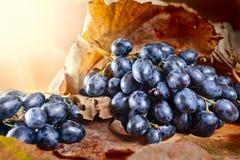 Dojrzały błękitny winogrono fotografia royalty free