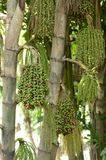 Dojrzały betel - dokrętki Lub CA dokrętki palma Zdjęcia Royalty Free