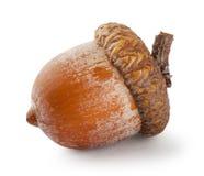 Dojrzały brown acorn Zdjęcie Stock