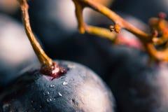 Dojrzały ciemny winogrona zakończenie up Obraz Royalty Free