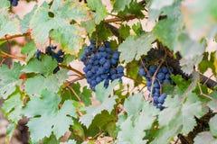 Dojrzały czerwonego wina gronowy przygotowywający żniwo Fotografia Stock