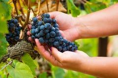 Dojrzały czerwonego wina gronowy przygotowywający żniwo Zdjęcie Royalty Free