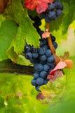 Dojrzały czerwonego wina gronowy przygotowywający żniwo Fotografia Royalty Free