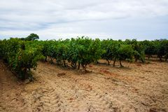 Dojrzały czerwonego wina gronowy przygotowywający żniwo, piaskowaty winnica w Camargue Obrazy Stock