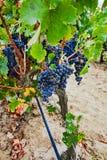 Dojrzały czerwonego wina gronowy przygotowywający żniwo, piaskowaty winnica w Camargue Obraz Stock