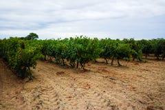Dojrzały czerwonego wina gronowy przygotowywający żniwo, piaskowaty winnica w Camargue Obrazy Royalty Free