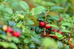 Dojrzały czerwony lingonberry, partridgeberry lub brusznica, r w sośnie obrazy stock