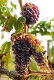 Dojrzały czerwony winogrono gromadzi się na winogradzie Obraz Stock
