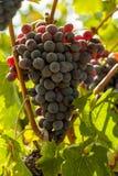 Dojrzały czerwony winogrono gromadzi się na winogradzie Fotografia Royalty Free