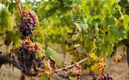 Dojrzały czerwony winogrono gromadzi się na winogradzie Obrazy Stock