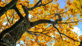 Dojrzały dębowy drzewo Obrazy Royalty Free