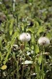 Dojrzały dandelion kwitnie na tle zielona trawa zdjęcia stock