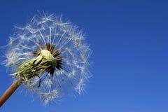 Dojrzały dandelion na niebieskim niebie obraz royalty free