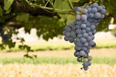 dojrzały grona winogrono obrazy royalty free