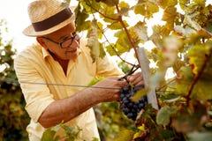 Dojrzały gronowy żniwa vintner na winnicy Fotografia Stock