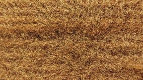 Dojrzały jęczmienny odgórny widok Pole jęczmień zdjęcie wideo