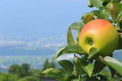 Dojrzały jabłczany zakończenie przeciw niebieskiemu niebu w tle Fotografia Royalty Free