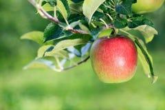 Dojrzały jabłczany zakończenie w jabłczanym sadzie Fotografia Stock