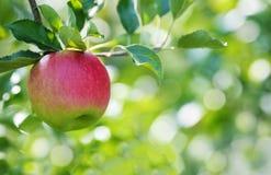 Dojrzały jabłczany zakończenie w jabłczanym sadzie Obrazy Royalty Free