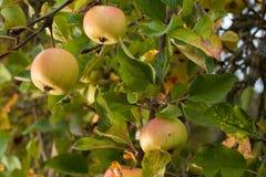 dojrzały jabłka drzewo Zdjęcie Royalty Free