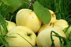 dojrzały jabłka kolor żółty obraz royalty free