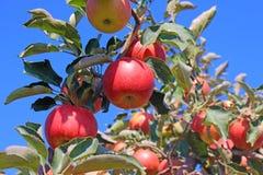 Dojrzały jabłko w sadzie zdjęcie stock