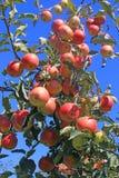 Dojrzały jabłko w sadzie obraz stock