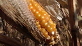 Dojrzały kukurydzany cob w polu zbiory wideo
