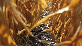 dojrzały kukurydzany pole zbiory