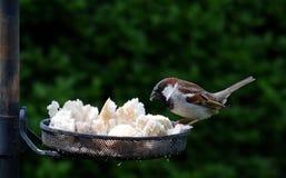 Dojrzały Męski Domowego wróbla karmienie na birdfeeder obrazy stock