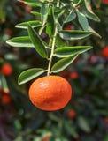 Dojrzały mandarine na gałązce Obrazy Royalty Free