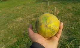 Dojrzały piękny mały melon w ręce zdjęcie royalty free