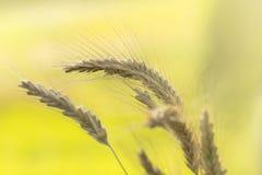 Dojrzały pszeniczny makro- Fotografia Royalty Free