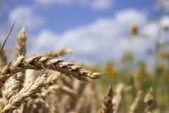 Dojrzały pszeniczny pole przeciw niebieskiemu niebu, Pogodny letni dzień kolce fotografia royalty free