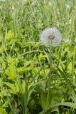 Dojrzały puszysty biały dandelion z ziarnami na zielonej trawie Dzikich kwiatów i ziele medyczny jadalny obraz royalty free