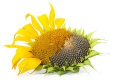 dojrzały słonecznik Obrazy Stock