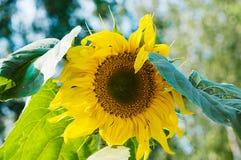 Dojrzały słonecznik na gospodarstwie rolnym Zdjęcia Stock