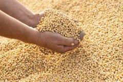 Dojrzały soya fasoli ziarno w rękach rolnik fotografia royalty free