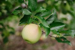Dojrzały złoty jabłko na gałąź przygotowywającej podnoszącą obrazy stock