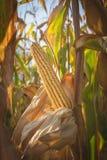 Dojrzały złoty dojrzały kukurydzany lisiątko jesień czas - unharvested, odizolowywający w polu uprawnym - Obraz Stock