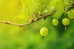 Dojrzały zielony agrest na gałąź agrest z światłem słonecznym Obrazy Stock