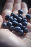 Dojrzałych jagod mirtowy czarny makro- na palmie ręka Zdjęcia Royalty Free
