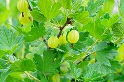 Dojrzałych jagod zieleni agresty zdjęcie royalty free