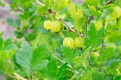 Dojrzałych jagod zieleni agresty obrazy stock